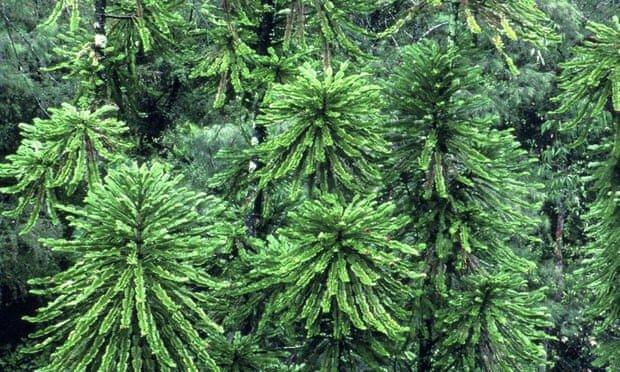 احتمال انقراض ده ها گونه گیاهی در استرالیا