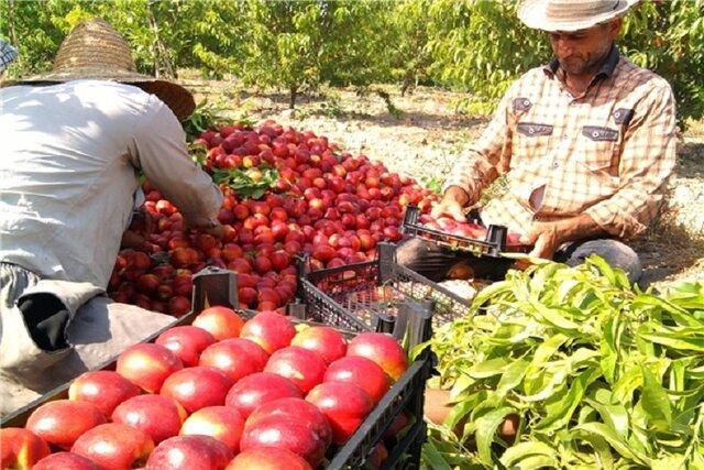 قیمت پایین فروش سیب؛ قصه پرغصه باغداران خراسان شمالی