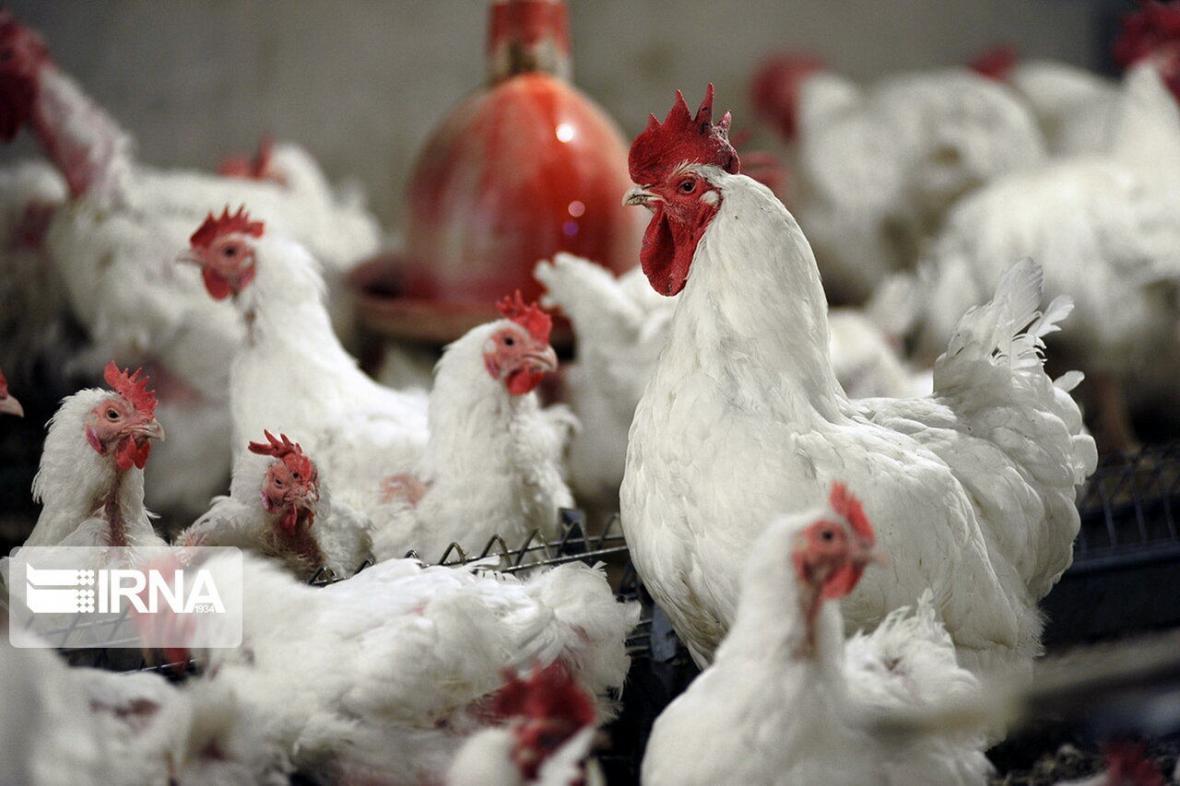 قیمت مرغ به چند تومان رسید؟