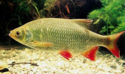 تکثیر ماهی سرخ باله از سوی دانشجوی دانشگاه گیلان